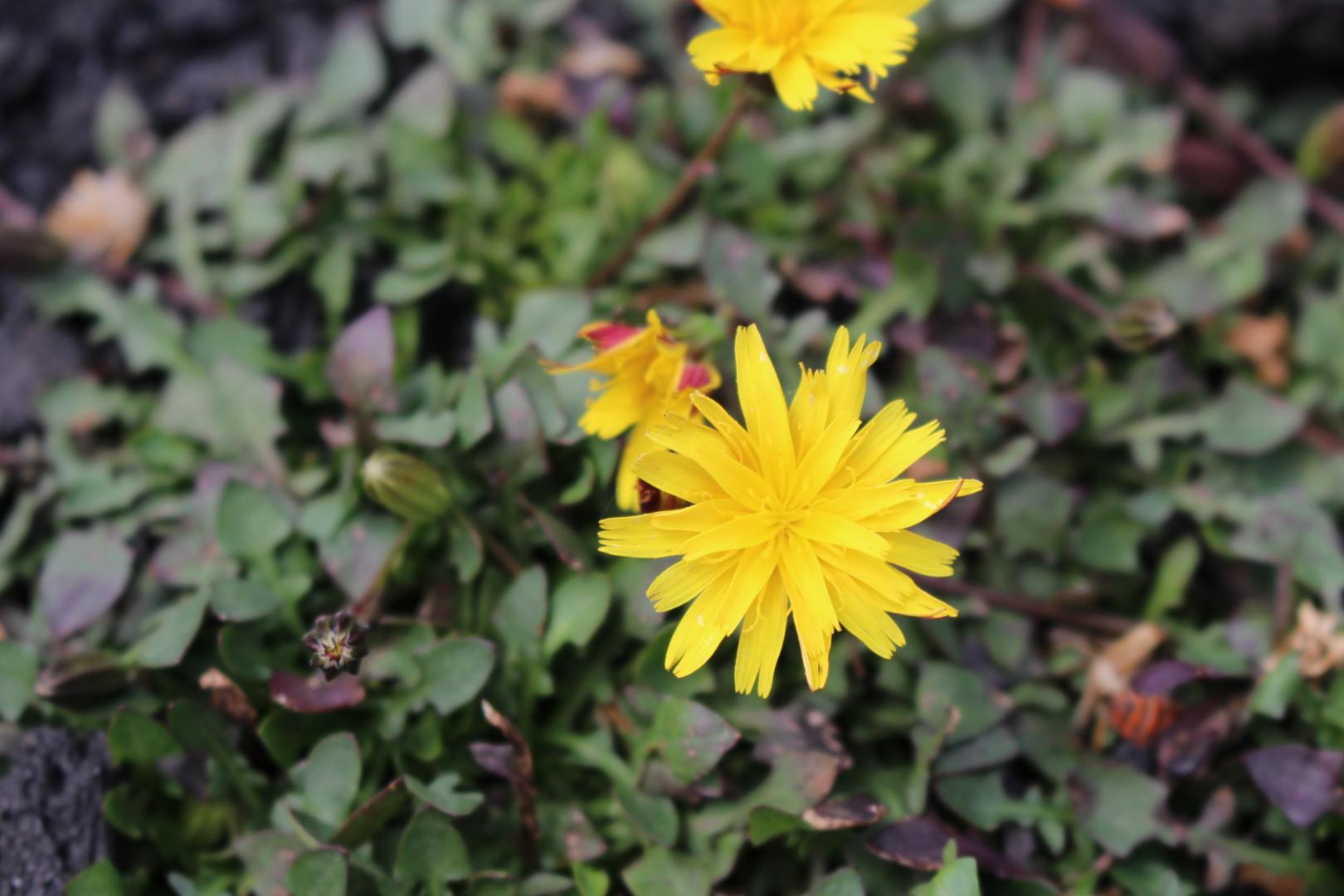 Robertia taraxacoides
