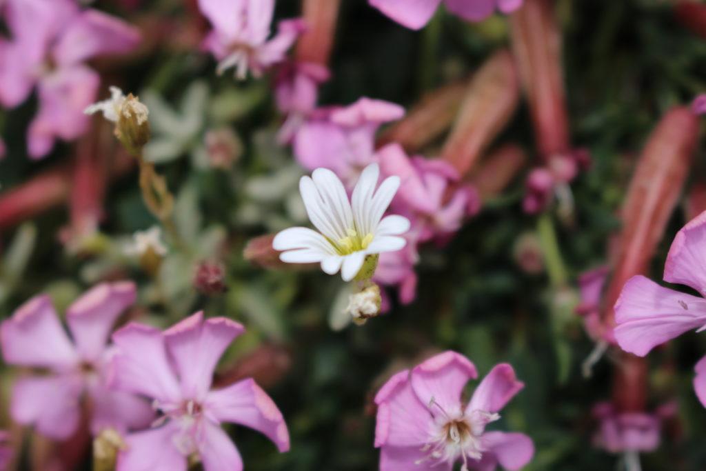 Saponaria sicula e cerastium tomentosum